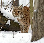 stock photo of bobcat  - Bobcat winter in their natural habitat - JPG