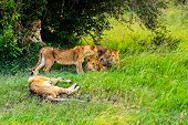 picture of african lion  - Lion in the African savannah Masai Mara - JPG
