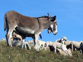 picture of counting sheep  - donkey out to pasture with a herd of sheep in the mountains - JPG