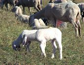 pic of counting sheep  - large flock with many sheep grazing in the Glade - JPG