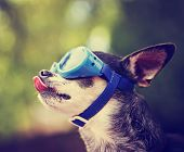 pic of licking  -  a cute chihuahua wearing goggles and sitting outside during summer time licking his nose  - JPG