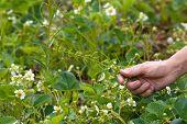 image of weed  - hands weeding the strawberries in the garden - JPG