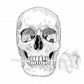 stock photo of day dead skull  - Skull holding rose in the mouth - JPG