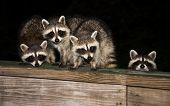 foto of raccoon  - Four cute baby raccoon sitting on a deck at night - JPG