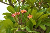 stock photo of plumeria flower  - Luntom or Plumeria pink flower with green leaves in garden - JPG