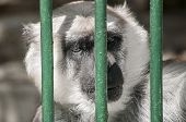 picture of caged  - Gray langur head behind zoo cage bars - JPG