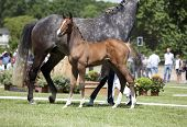 stock photo of brown horse  - one brown Holsteiner foal is standing on a horse show next to his mother mare - JPG