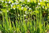 foto of chive  - Green chive growing in ecologic garden - JPG