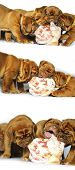 stock photo of dogue de bordeaux  - Dogue de Bordeaux puppy and a large bone - JPG
