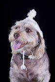 stock photo of beanie hat  - white dog with winter hat looking away on black background - JPG