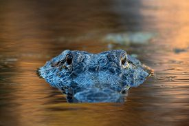 stock photo of gator  - American alligator mostly submerged in the shallow water of a Florida wetland - JPG
