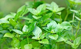 image of basil leaves  - Fresh Basil in my garden  - JPG