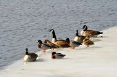 Winter Ducks and Geese
