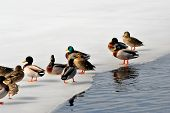Beautiful Winter Mallard Ducks