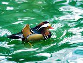 Mandarin duck in turquoise water
