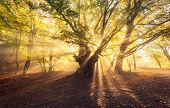 Magical Old Tree With Sun Rays At Sunrise  Foggy Forest poster