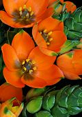 Sun Star succulent plant in bloom.  Macro of tiny cluster of orange flowers with shallow dof.