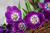 Beautiful purple tulips in a woven basket against a marble background.  Close-up with angled comp and shallow dof.