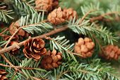 Evergreen branch with tiny pine cones. Macro with extremely shallow dof.
