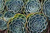 Nature background of succulent echeveria rosettes with morning dew.