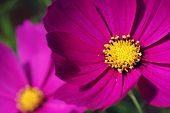 Soft abstract image of vivid cosmos flowers.  Macro with extremely shallow dof.