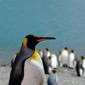 King penguin (Aptenodytes patagonicus) at the beach in South georgia an island close to Antarctica