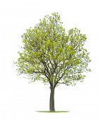 foto of walnut-tree  - Isolated walnut tree - JPG