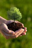 Hands holding soil with a Linden Tree against a green background. Shallow depth of field. Focus is o