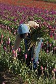 Kommissionierung Tulpen