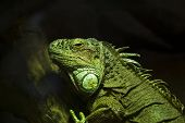 Strathclyde Country Park Iguana