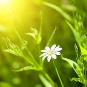 picture of white flower  - white chamomile in green grass - JPG