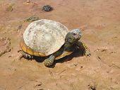 Rio Turtle