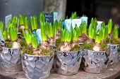 stock photo of flower arrangement  - Growing Hyacinths in a decorative pots - JPG