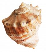 shell mollusks isolated on white background with clipping path