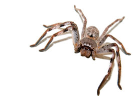 stock photo of huntsman spider  - A large hairy huntsman spider on a white background - JPG