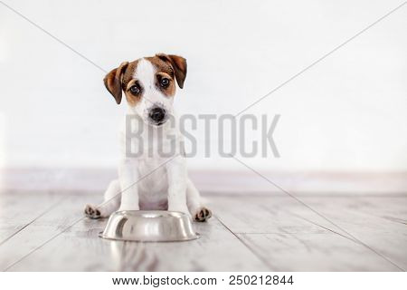 poster of Dog eating food from bowl. Puppy jackrussell terier with dogs food