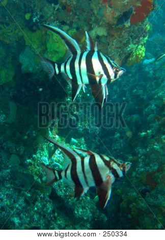 Picture or Photo of A couple of old wives (enoplosus armatus) at crystal palace, around rottnest island western australia. this fish always stay in pair.