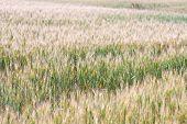 Golden Wheat Field. Wheat Field Background. Farm Field poster