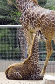 Baby Giraffe With Mother At Zoo