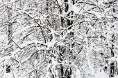 Snow-covered Branches In Snowy Forest Of Timiryazevskiy Park Of Moscow City In Overcast Winter Day poster