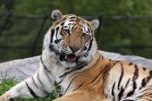 Tigre siberiano de boca abierta