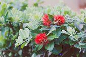 Close-up Of Beautiful Subtropical Callistemon Bottle Brush Plant Shot In Queensland, Australia In Su poster