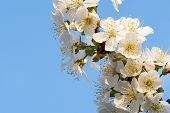 Cherry Blossoms On A Blue Sky. Spring Floral Background. Cherry Flowers Blossoming In The Springtime poster