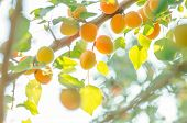 Apricot Tree Branch With Ripe Fruits poster