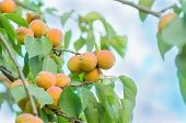 Apricots On A Branch. Apricots On Tree poster