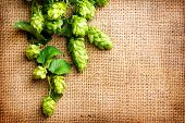 Green Hop on burlap texture. Plant of hop with leaves and whole cones  close-up.  Brewing beer ingre poster