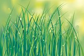 First shoots of a grass on a lawn