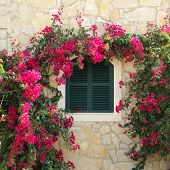 Bougainvillea and closed window