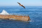 California Brown Pelican In Flight With Waves Crashing On Coastal Sea Wall With Fishing Boat In Back