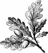 Rama de Quercus robur